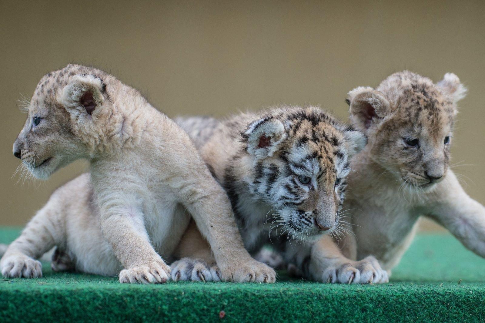 Együtt nevelkedik két oroszlánkölykök és egy kistigris