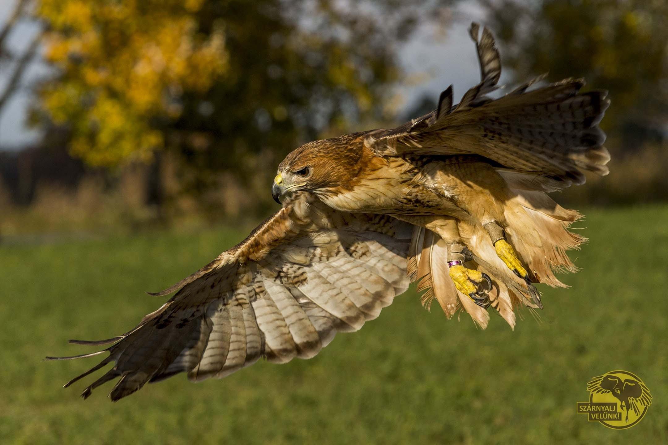 Nagy sikert aratott az első madárreptetéses állatbemutató a Kecskeméti Vadaskertben