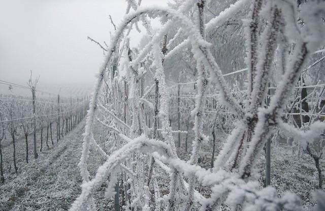 Kevesebb bort és drágább szőlőt hozhat a januári tartós fagy