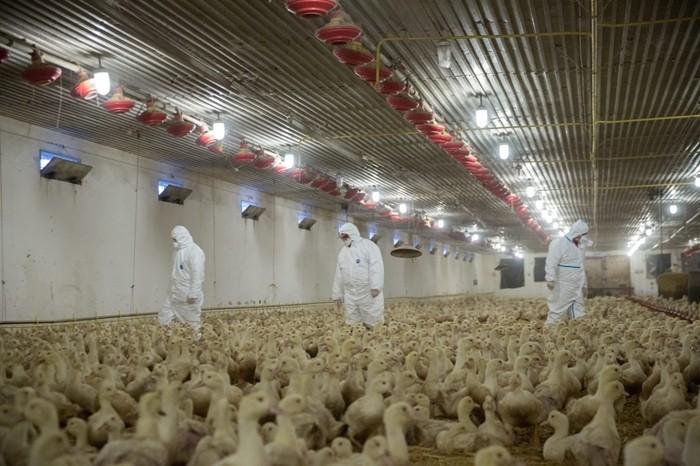 Hamarosan feloldhatják a madárinfluenza miatti korlátozást