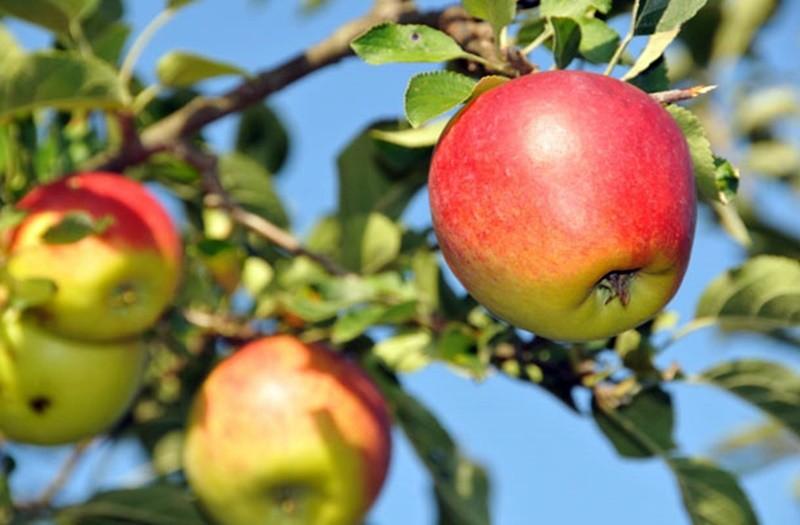 Kihalófélben lévő gyümölcsök megmentésére vállalkozott egy család Kecskeméten