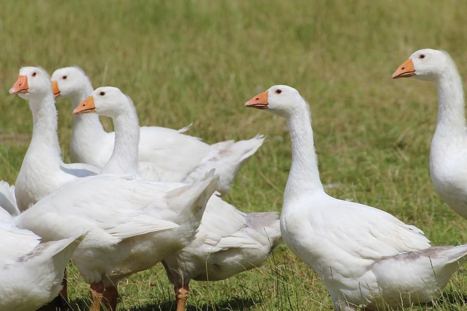Bács megyei cégek kacsa- és libamájat exportálhatnak Thaiföldre