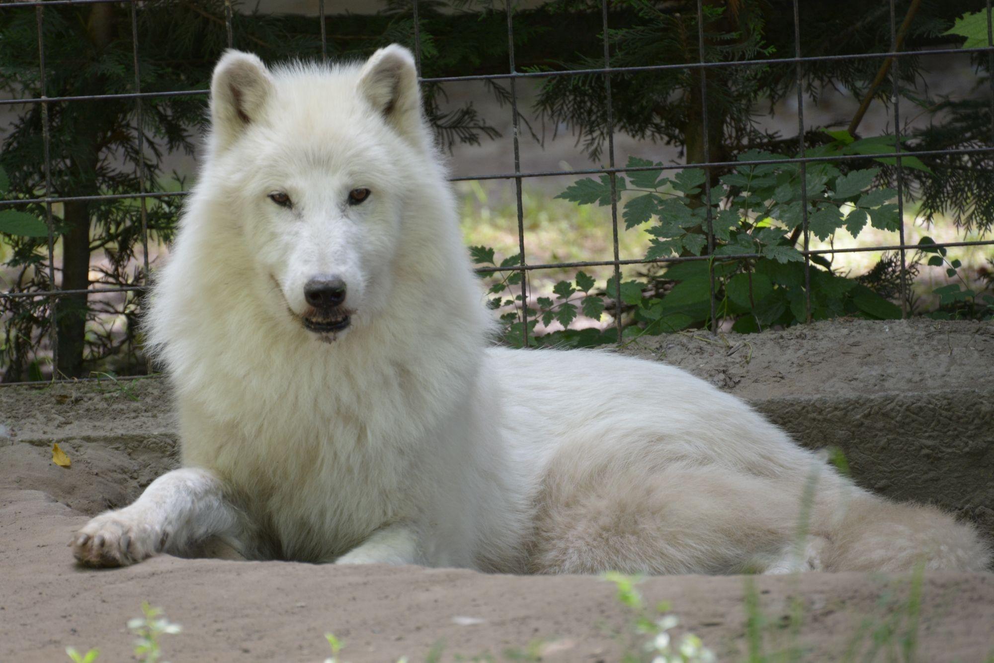 Új kifutót és párt kapott az alaszkai fehér farkas a Kecskeméti Vadaskertben