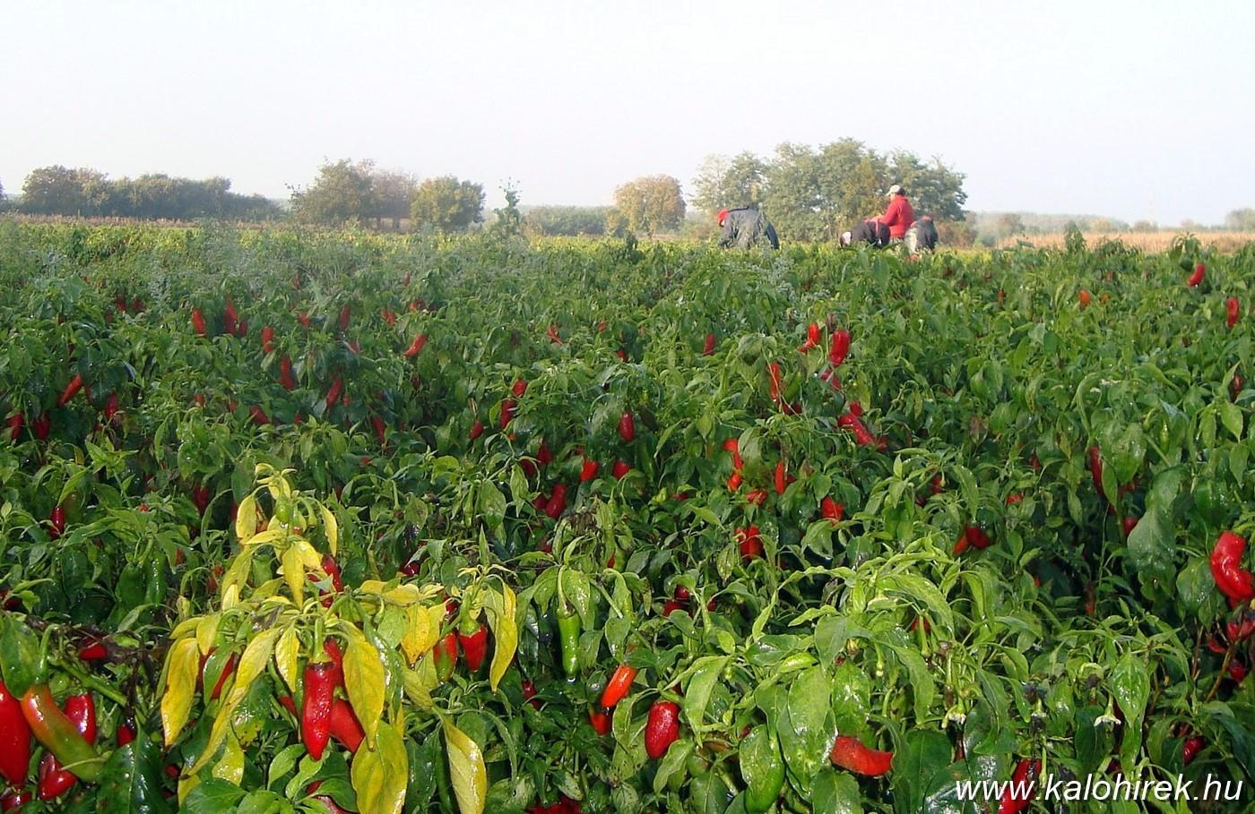 Végveszélyben Kalocsán a paprika fővárosa cím