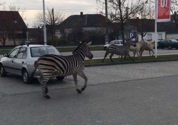Szamárbarát zebrák garázdálkodtak Bátaszéken