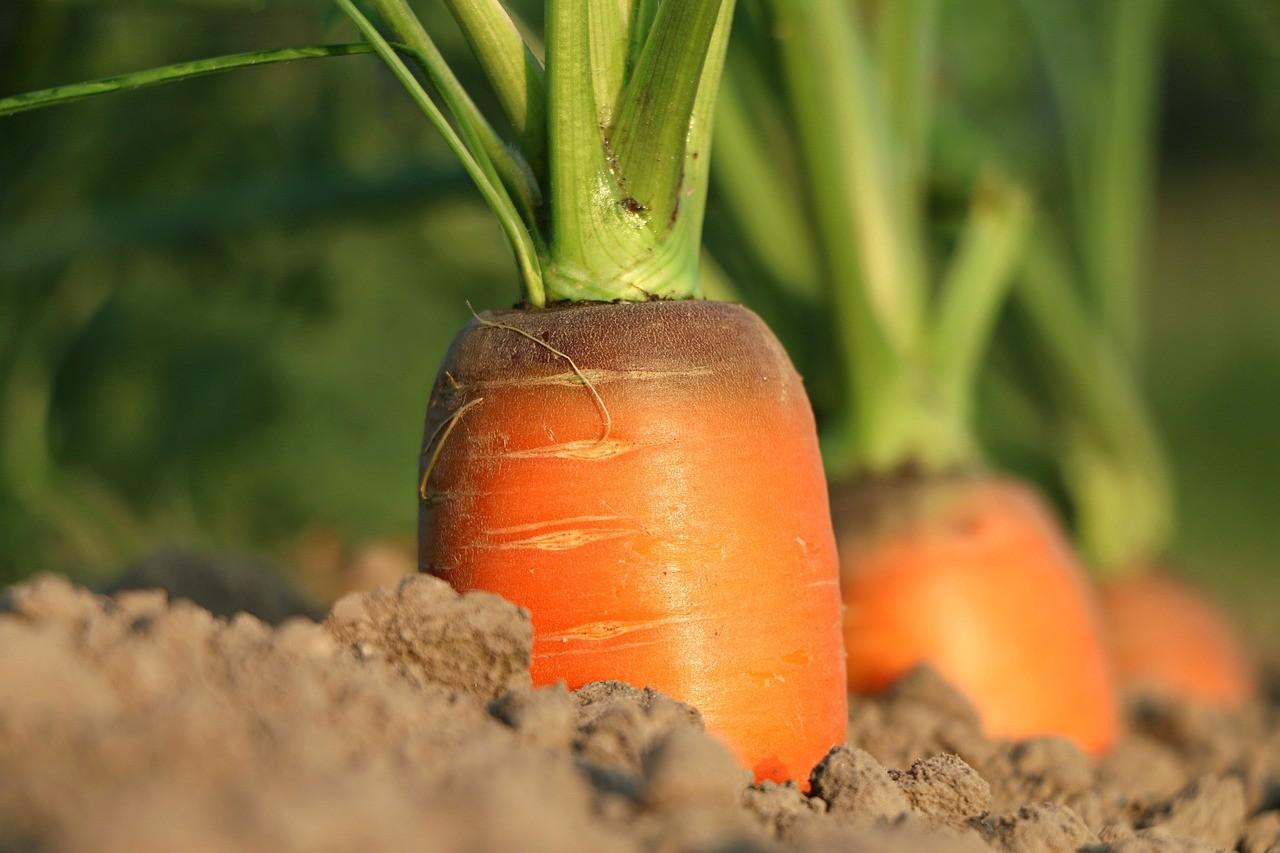 Fellendülőben a sárgarépa termesztés - Bács-Kiskunban terjeszkedne az Austria Juice Hungary Kft.
