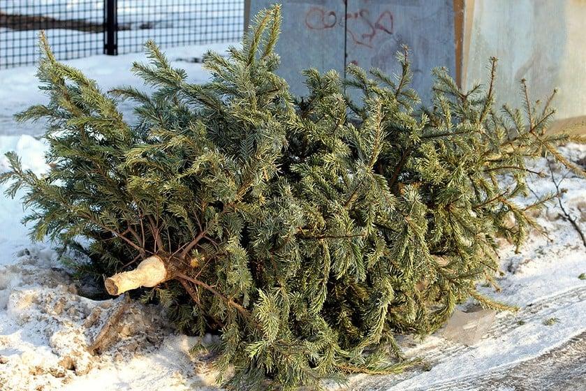 Hétfőtől szállítják el a bajai kidobott fákat