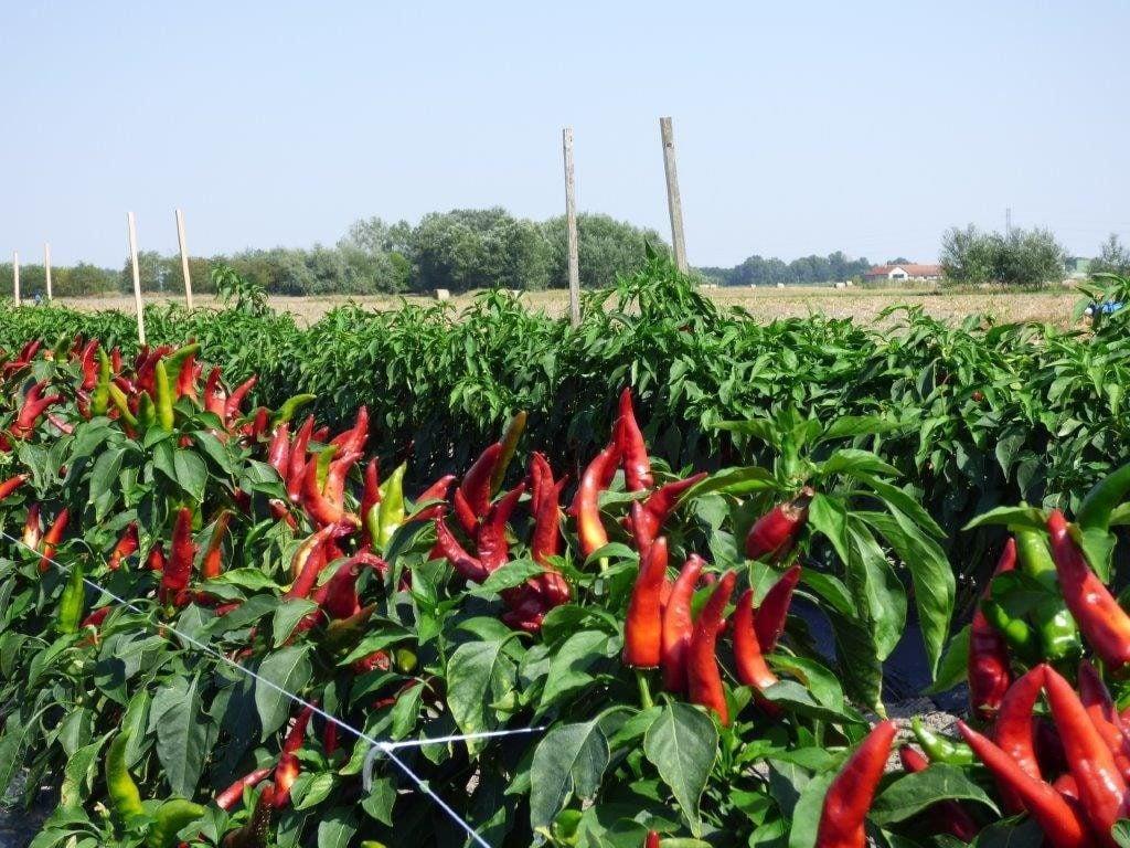 Támogatást kap a fűszerpaprika ágazat