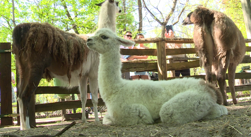 Újabb állatkölykök születtek a Kecskeméti Vadaskertben