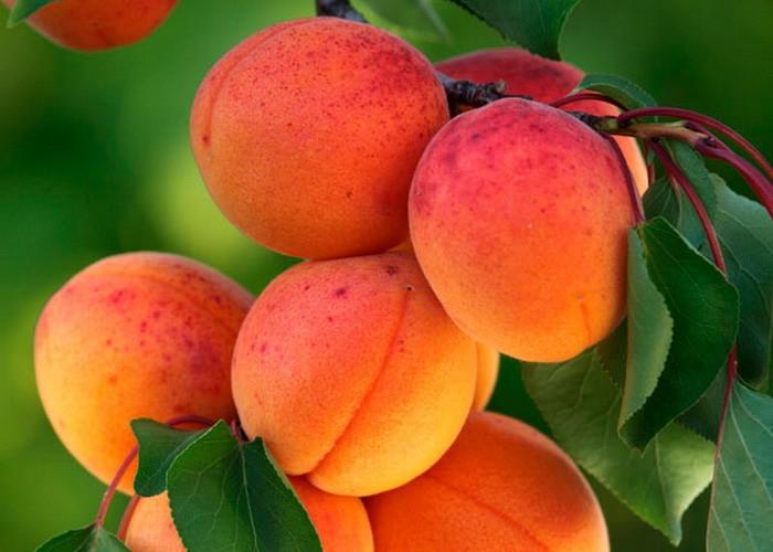 Az átlagostól jobb kajszibarack és közepes őszibarack termés várható idén