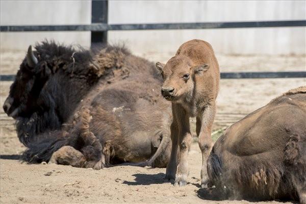Amerikai bölényborjúval bővült a pécsi állatkert