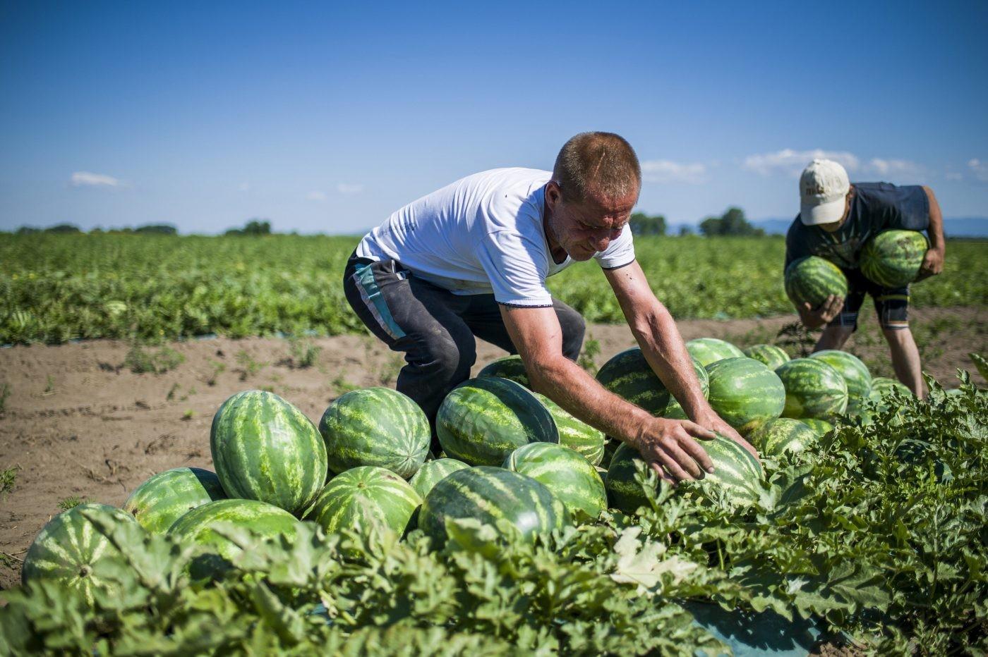 Védjegyet kapnak a magyar dinnyék