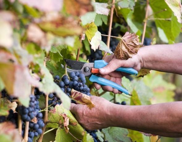 Kiemelkedő évjáratban bíznak a villányi szőlősgazdák