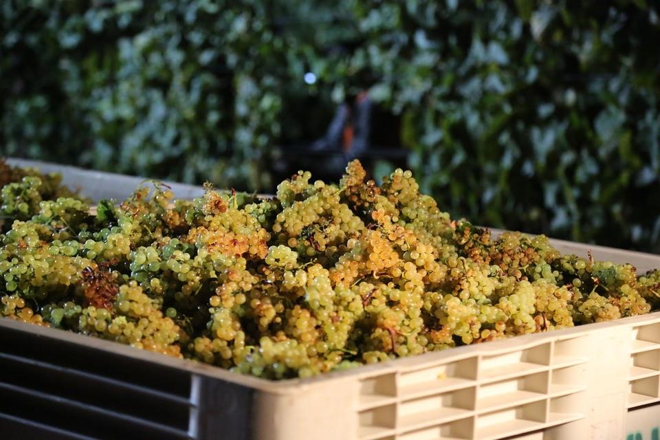 Új szabályok léptek életbe a szőlőértékesítésben