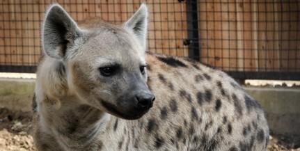 Foltos hiénákat is láthatunk már a pécsi állatkertben