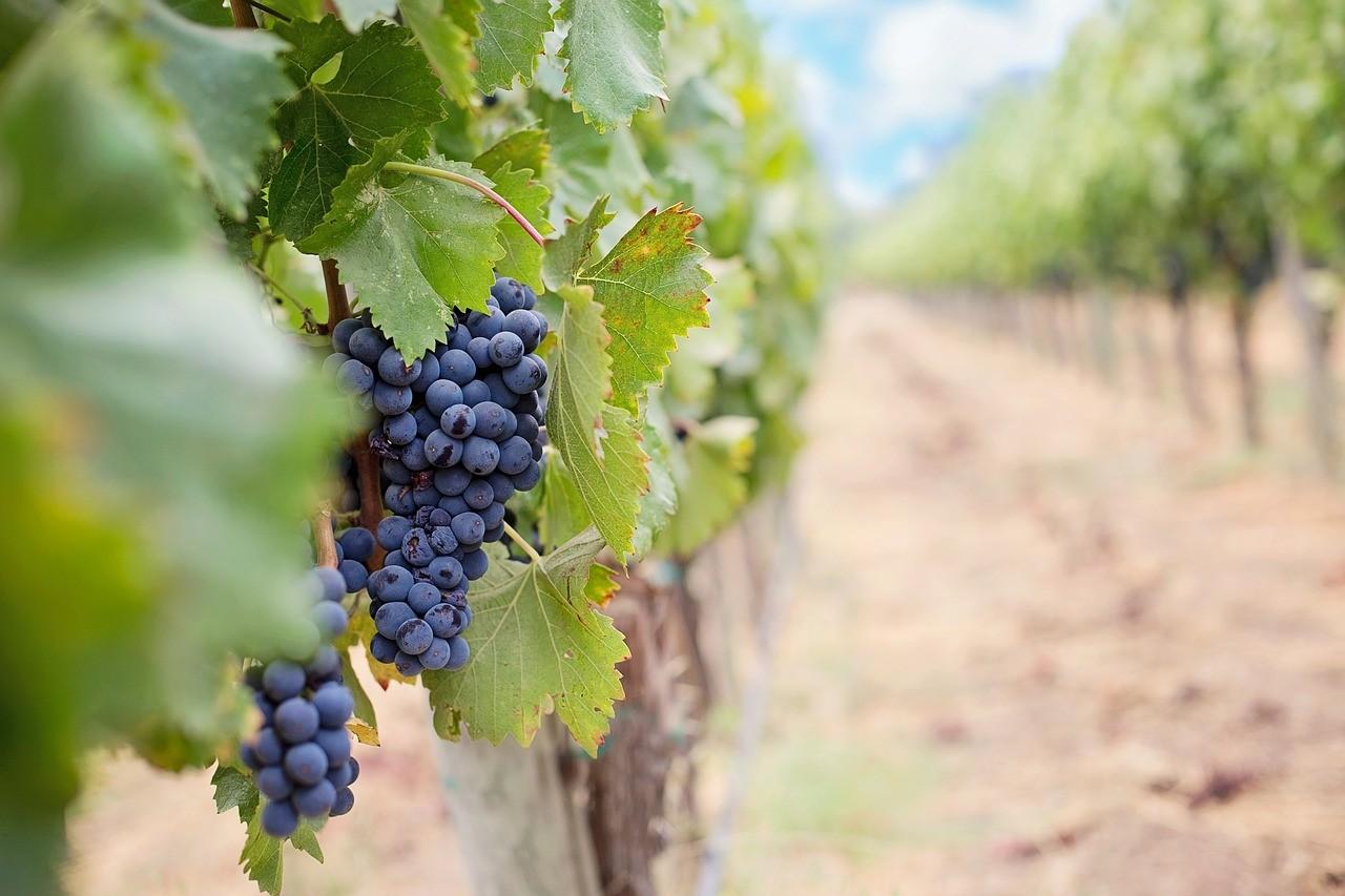 Fontos a szőlőültetvények védelme