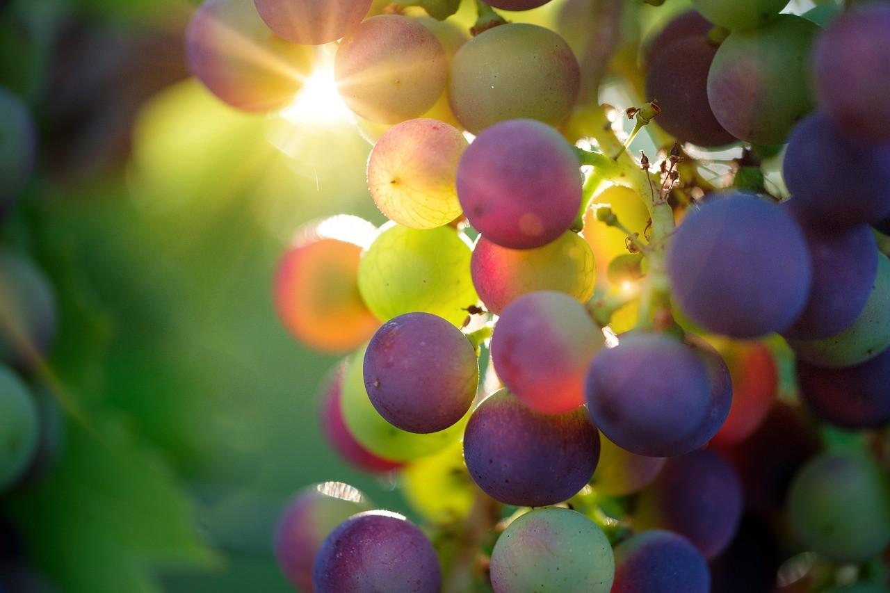 Fennállásásnak 70. évfordulóját ünnepli Európa második legnagyobb szőlőgénbankjának fenntartója
