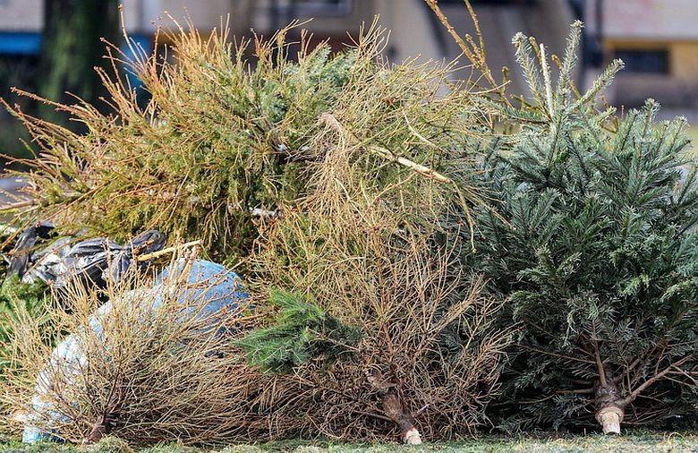 Január 8-a és január 19-e között szállítják el a karácsonyfákat Fehérváron