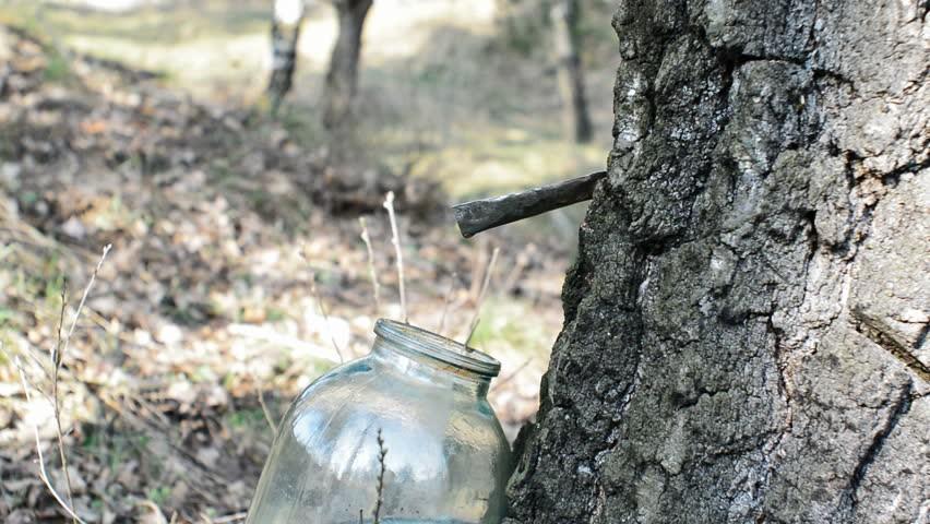 Az erdő kincse a virics - az első tavaszi Herbarius túra célpontja Lovasberény lesz