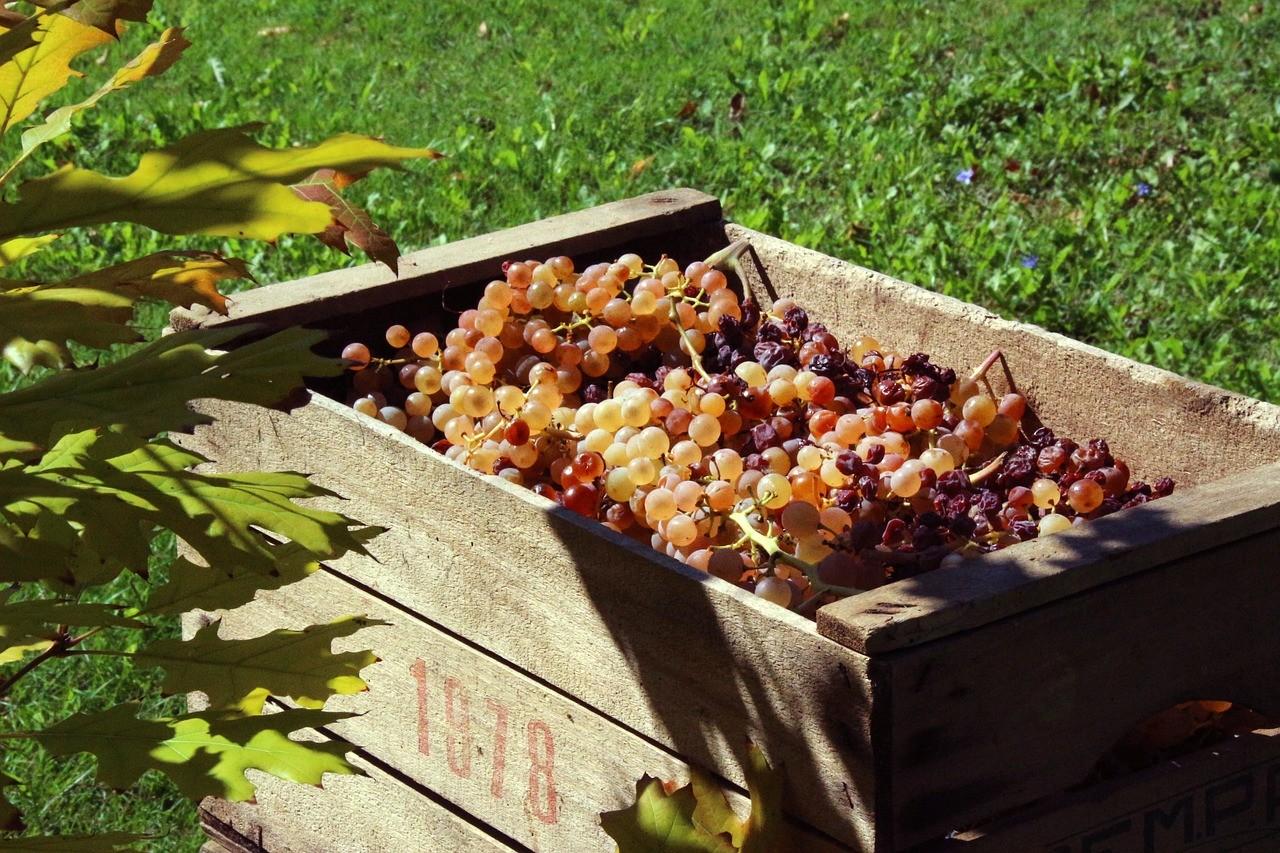 Eddig 3,9 millió mázsa szőlőt szüreteltek a gazdák