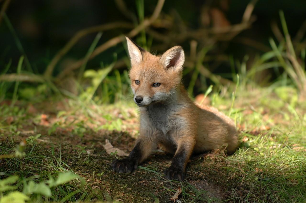 Egy hét múlva indul a vadon élő rókák tavaszi veszettség elleni vakcinázása