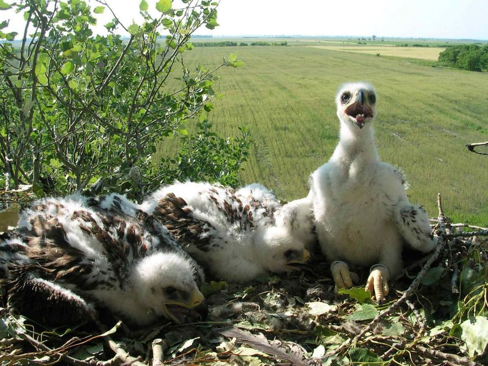 Önkéntesek őrizhetik a magyarországi parlagi sasok fészkeit
