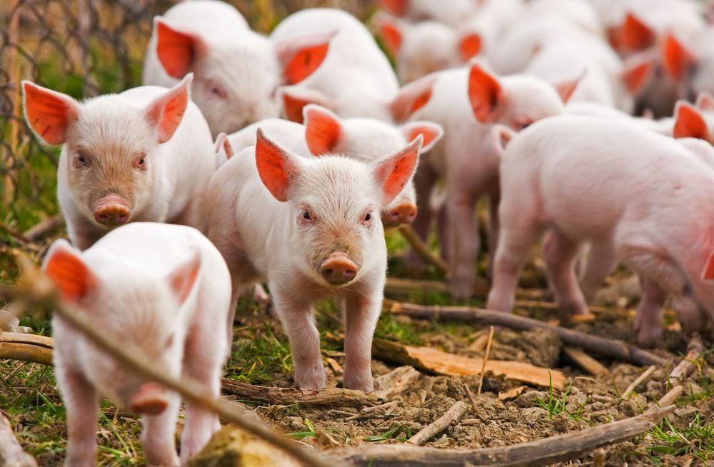 Súlyos sertésbetegségtől szabadulhat meg Jász-Nagykun-Szolnok megye is