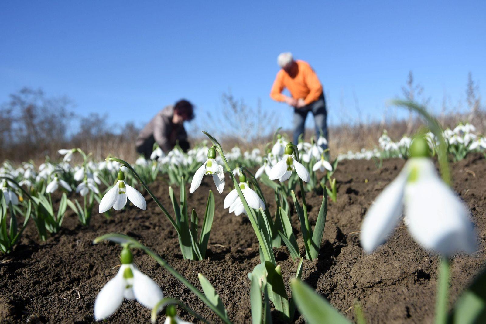 Kunszentmártonban hóvirágot termesztenek