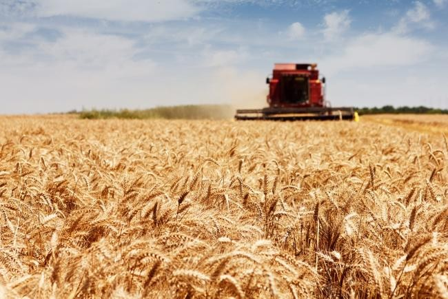 5 millió tonna őszi búza termett az idén