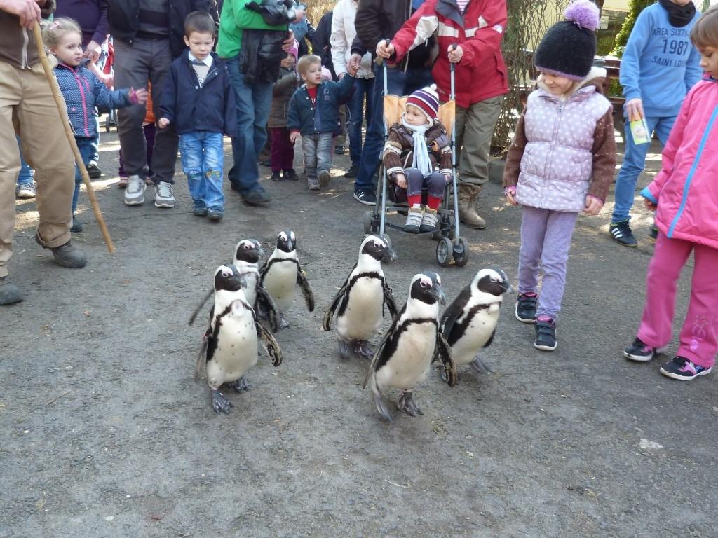 Újra pingvint lehet sétáltatni a Jászberényi Állatkertben