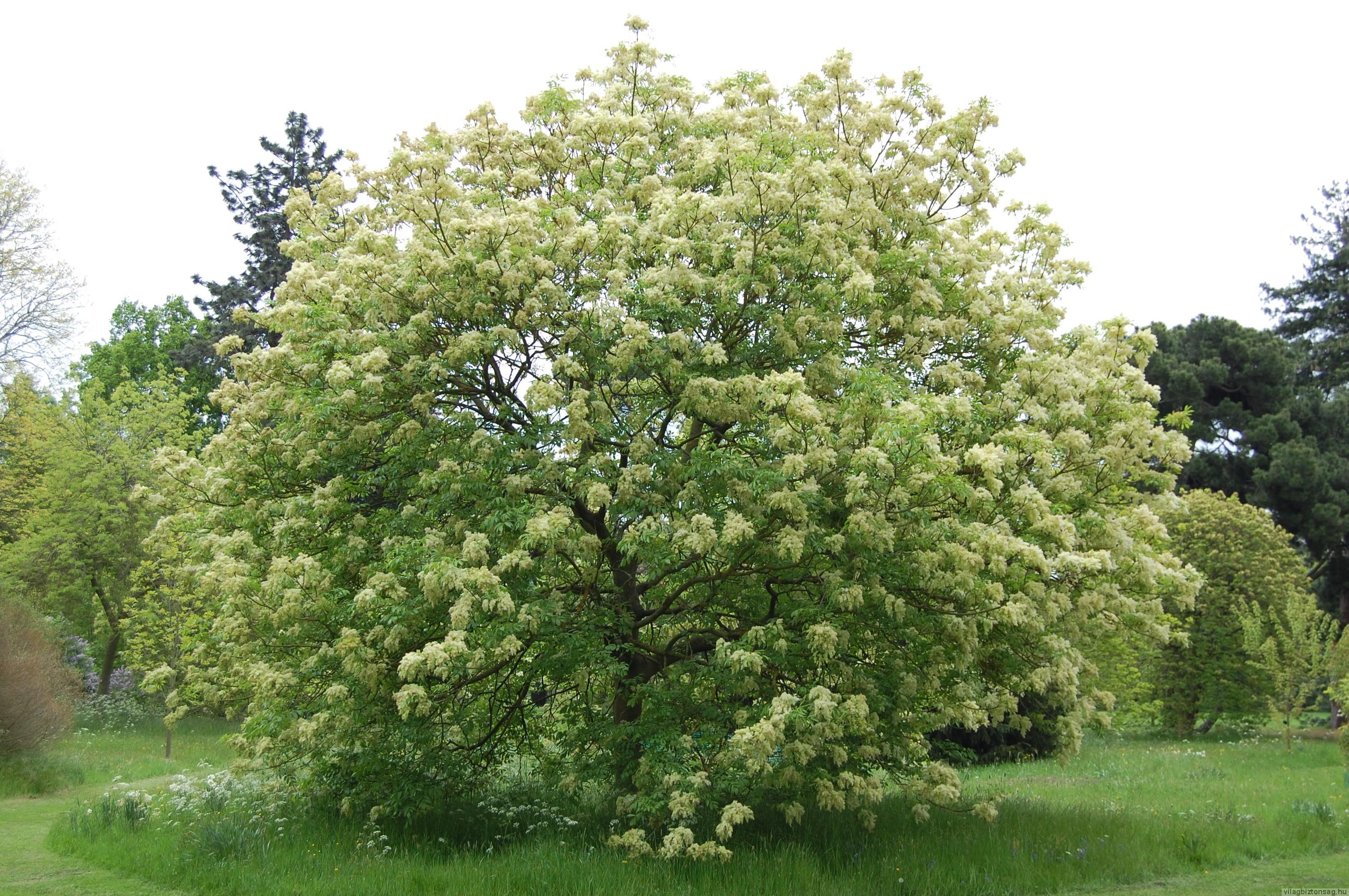 A virágos kőris az év fája