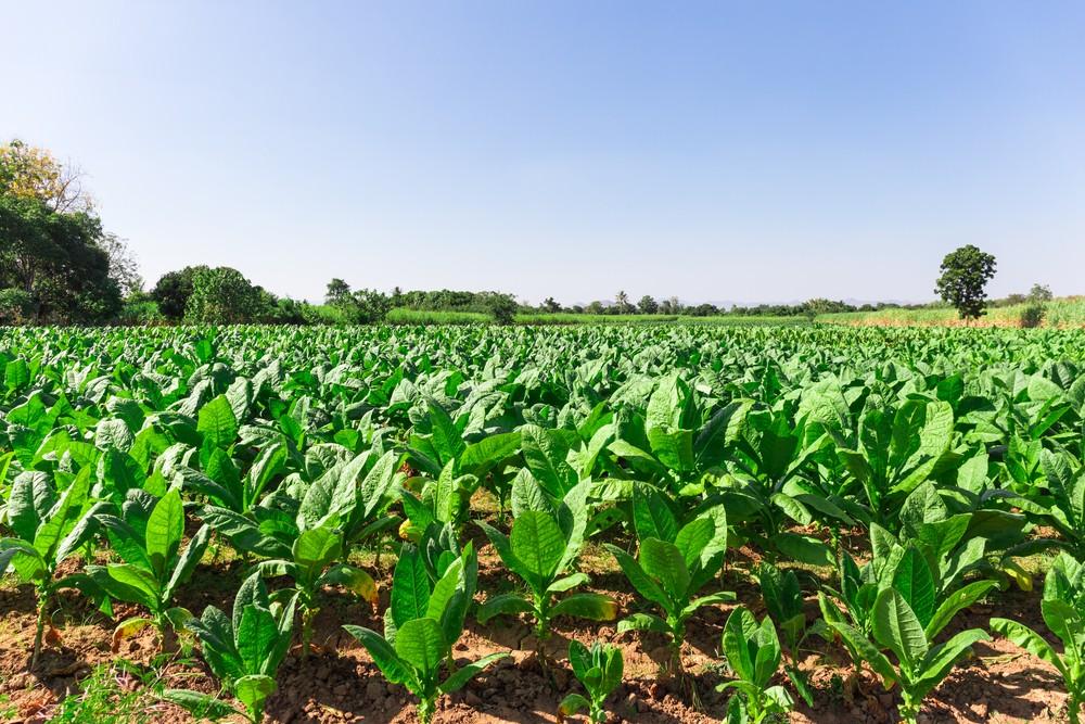 Nőtt a dohány termőterülete és termésátlaga 2017-ben