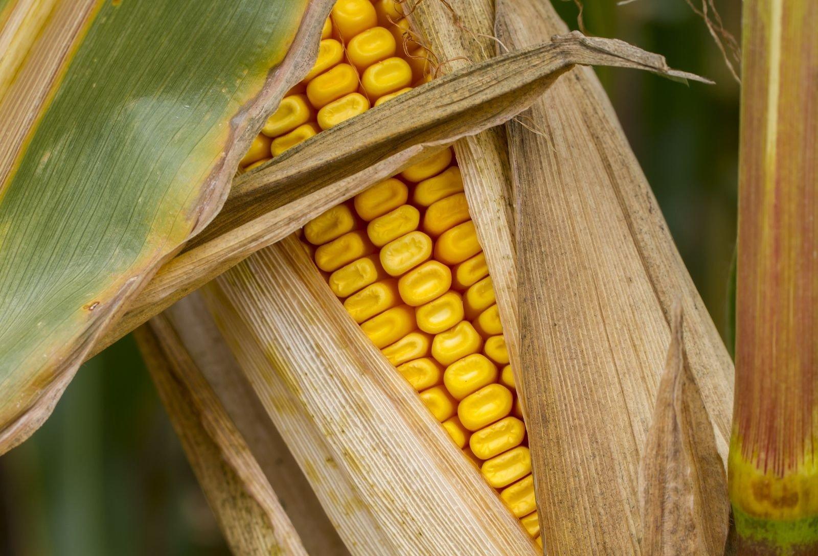 Jász-Nagykun-Szolnok megyében is tesztelik a kukoricát