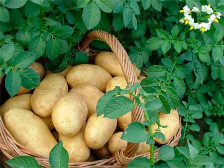 Növényegészségügyi zárlat Szécsényben a burgonya baktériumos gyűrűs rothadása miatt