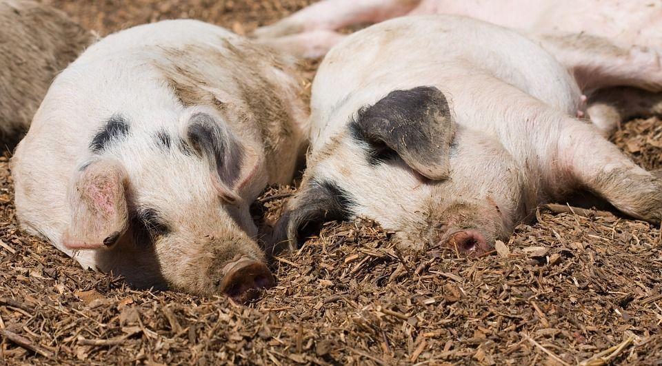 Nőtt a sertéshús iránti kereslet az áfacsökkentés hatására