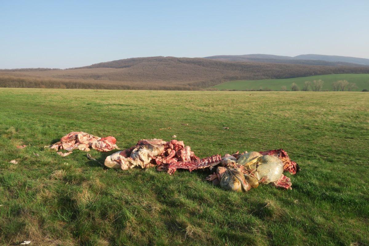 Emberekre és állatokra egyaránt veszélyes lehet a Pásztó közelében talált, illegálisan levágott szarvasmarhák húsa
