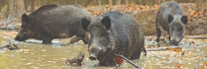 Nógrád megyében is ASP-t mutatott ki két vaddisznóban a Nébih