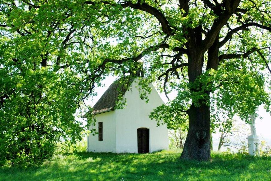 Egy magyar tölgy lehet az idei év legszebb fája Európában