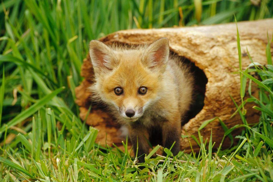 Indul a vadon élő rókák tavaszi veszettség elleni immunizálási kampánya