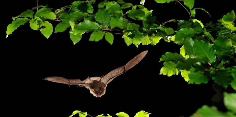 Három új denevérfaj jelent meg a Pilisi Parkerdőben