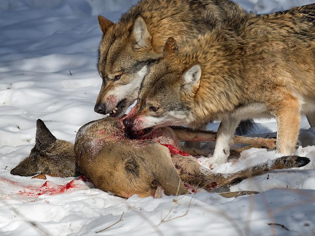 Farkasetetéssel is készül a Budakeszi Vadaspark a ragadozók napjára