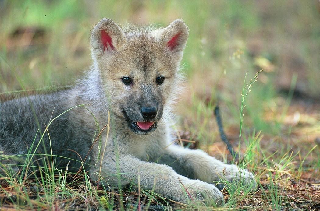 Szuper szoros kapcsolatban egy farkassal? Lehetséges!