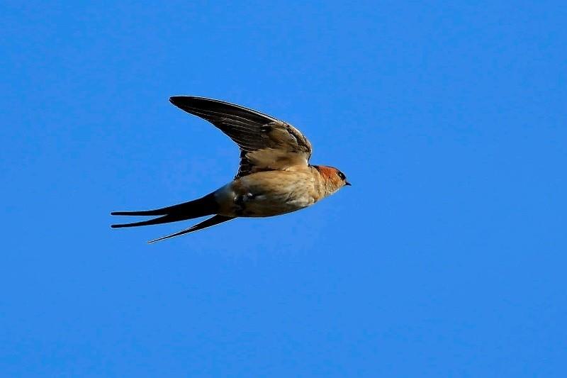 Megtelepedett Magyarországon a félcsövet használó madár