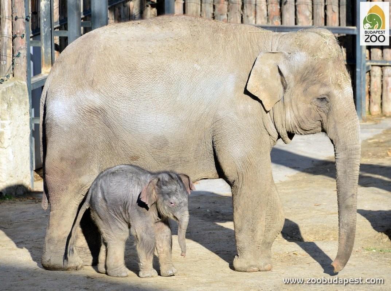 Szoros versenyben dőlt el az állatkert új kiselefántjának neve