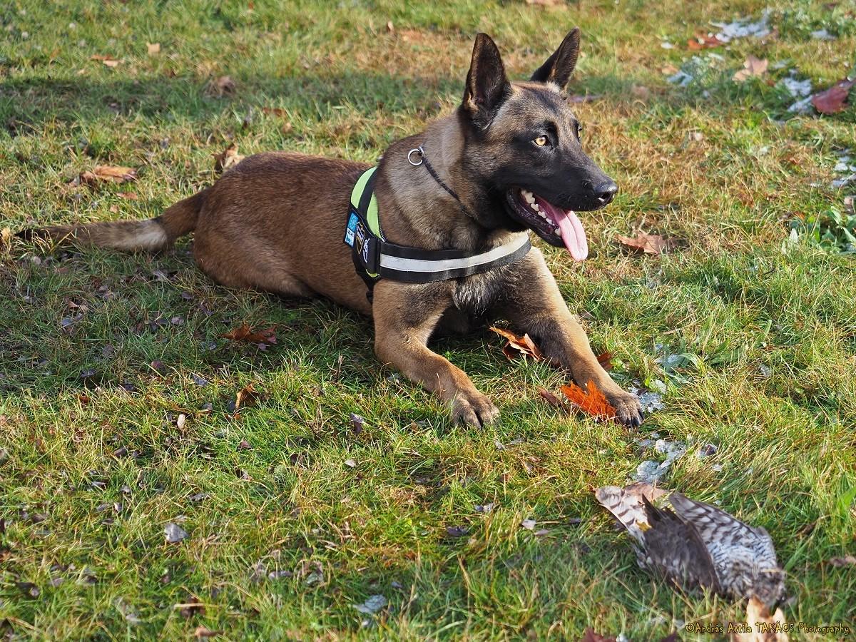 Kutyák menthetik meg a kihalástól a közép-európai sasokat