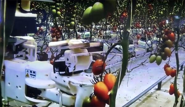 A robotok szedte paradicsom is finom