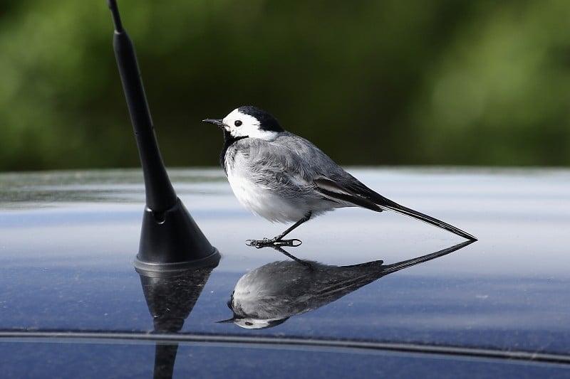 A végkimerültségig küzdhetnek a tükörben riválist látó madarak