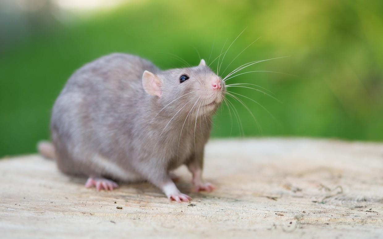 A patkányok emlékeznek a múltbeli eseményekre