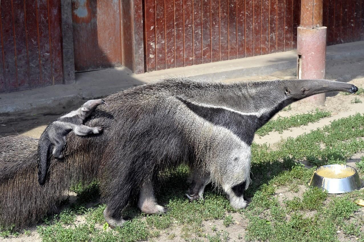 Már a második sörényes hangyászkölyök született meg a fővárosi állatkertben
