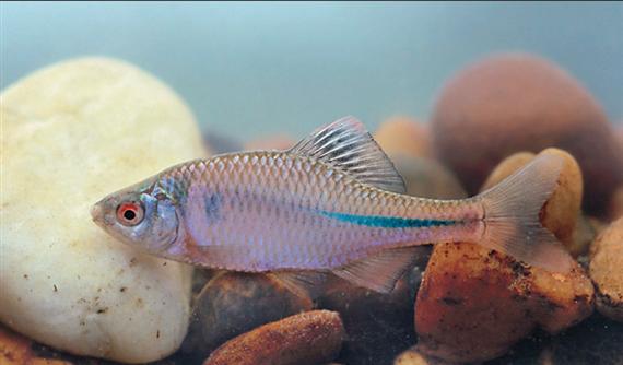 Az egyik legkisebb őshonos halfajunk is indul az év hala címért